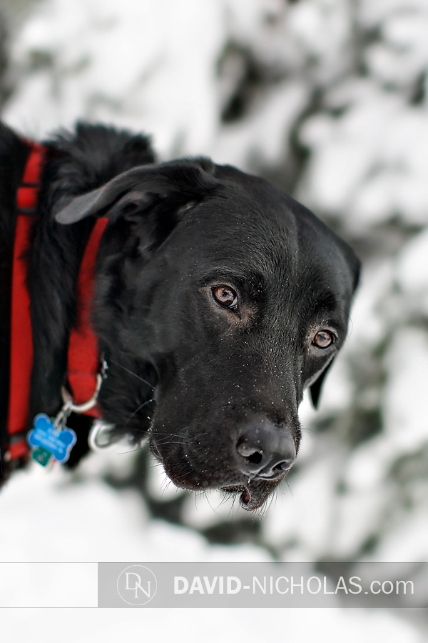 And finally, after several minutes of puppy chicanery, Zuke cooperated for this lovely winter portrait in the snow!