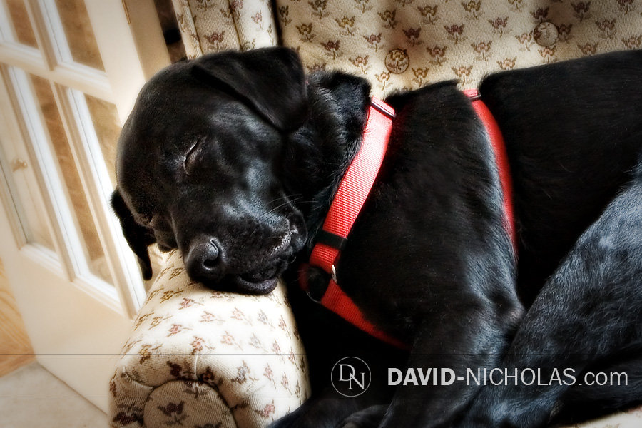 Zuke, our faithful companion catches a few Z's in his favorite chair in our office during the Christmas crunch.