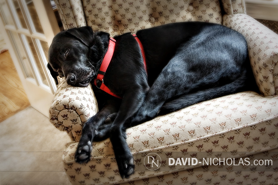 Even for dogs, a model's life is tough work!  So shortly after his outdoor photo session, Zuke snuggles into his favorite spot in my office.